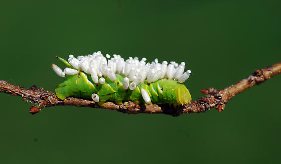 unknown caterpillar with parasites - Sphinx kalmiae