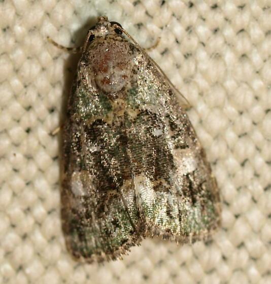 Micro Moth - Lithacodia musta