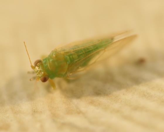 Aphidoidea? - Craspedolepta