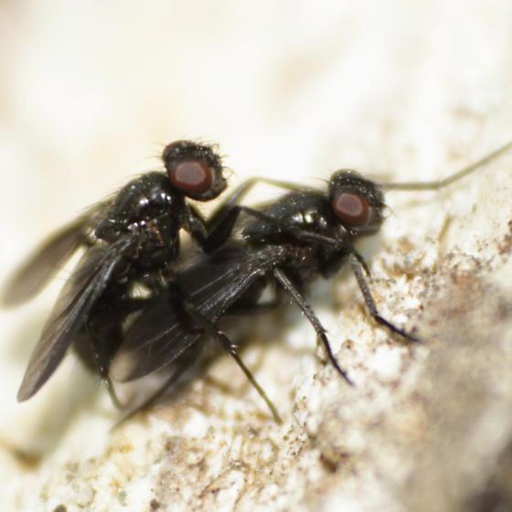 Dipteran 12 - Melanophora roralis - male - female
