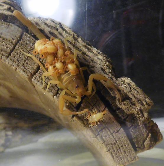 Carin's scorplings - Centruroides sculpturatus - female