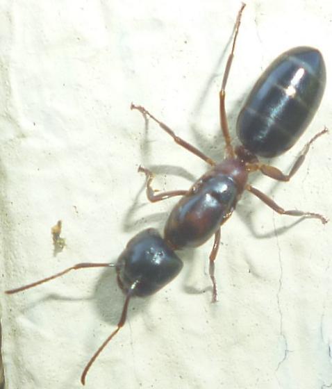 Camponotus - female