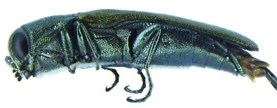 Agrilus lacustris - male