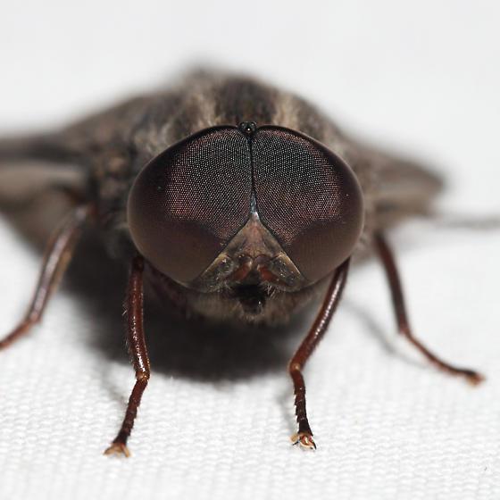 Deer Fly - Merycomyia whitneyi