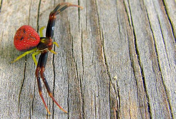 Red, Black and Yellow Crab Spider - Mecaphesa