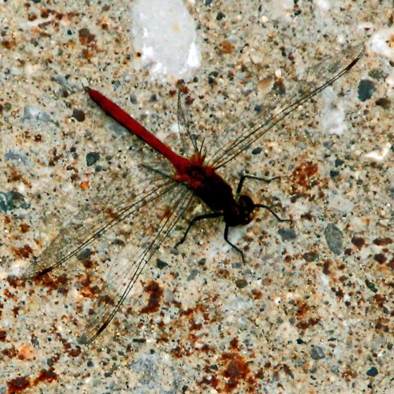 Michigan dragonfly - Sympetrum