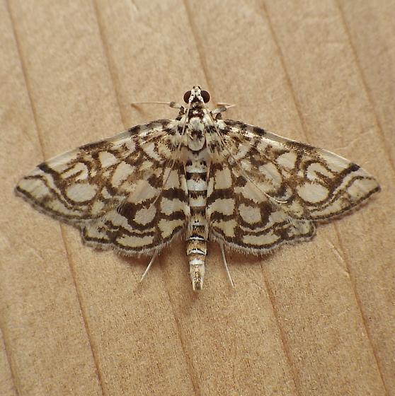 Crambidae: Lygropia rivulalis - Lygropia rivulalis