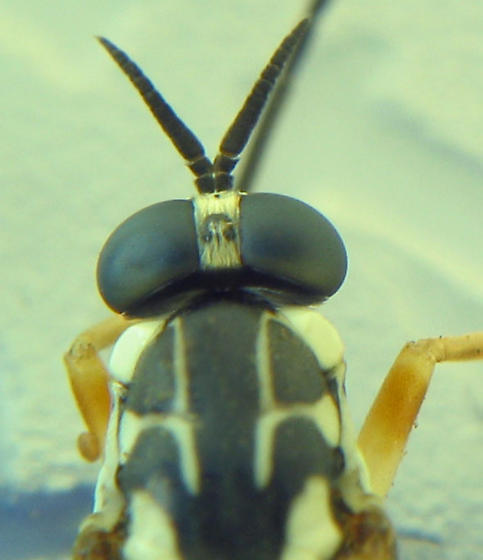 Windfall maple fly - Xylomya americana