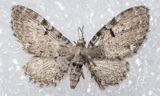 Eupithecia - Eupithecia assimilata - female