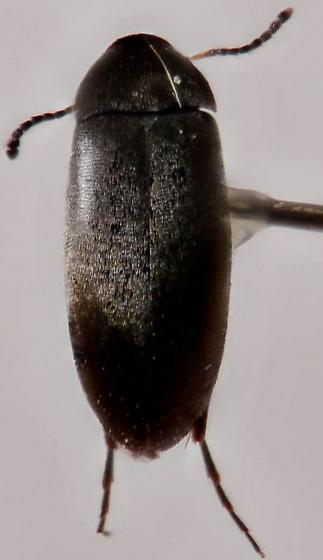 Mordellid or scraptiidae... - Anaspis atrata