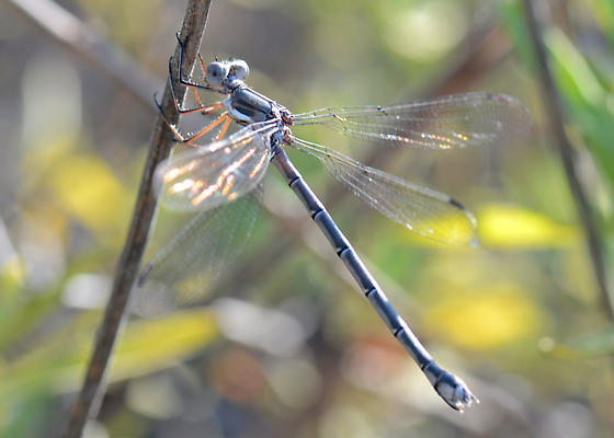 Spreadwing Damselfly - Archilestes californica - female