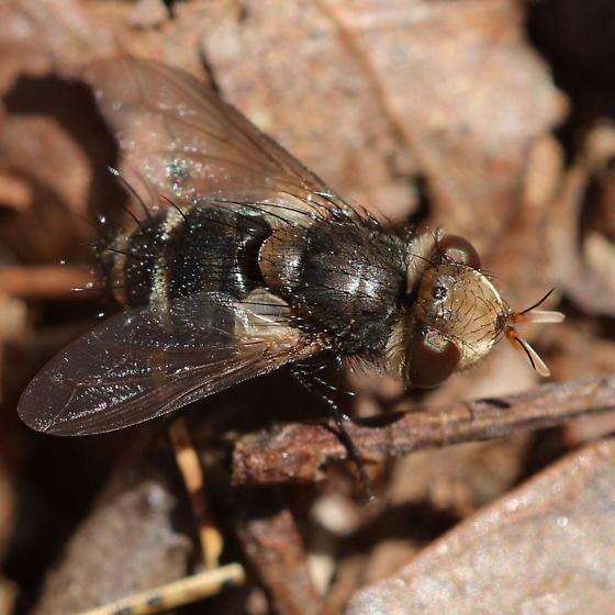 Yellow-horned parasite - Gonia sagax