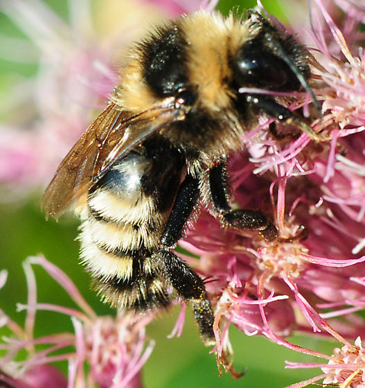 Bombus borealis - Northern Amber Bumble Bee - Bombus borealis