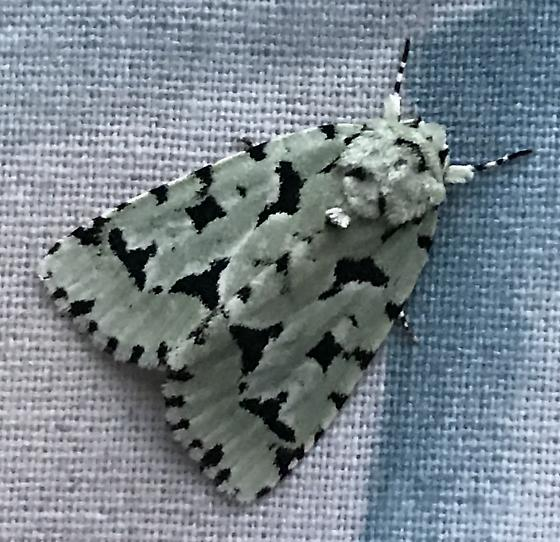Moth at light - Acronicta fallax