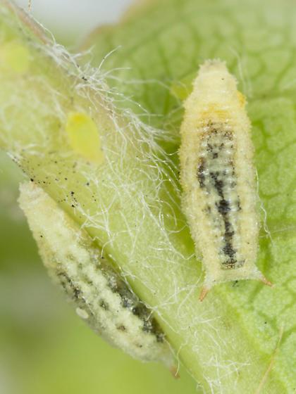 Leucopis ID Req. - Leucopis americana