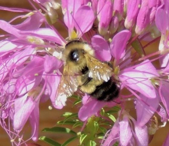 Y+B Bumblebee to Id - Bombus