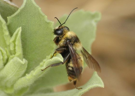 Large Bee: Bumble, or Have I Bungled It? - Bombus crotchii - male