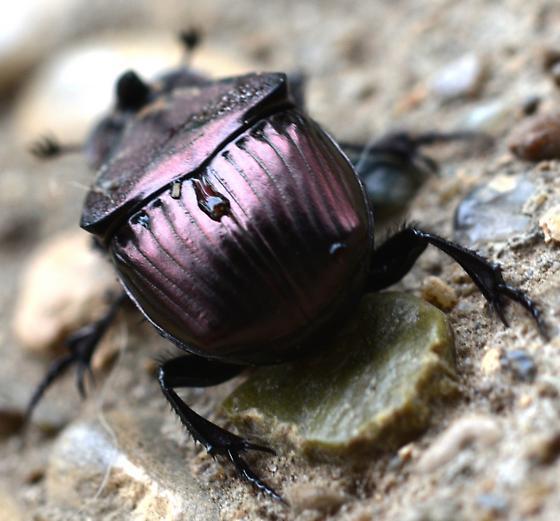 Rhino Beetle?