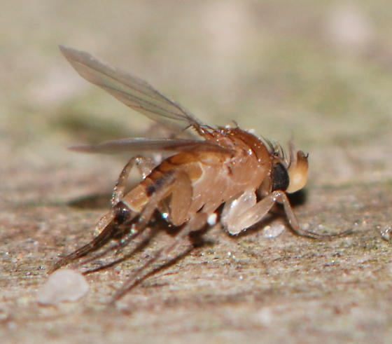 fly-phorid? - Apocephalus
