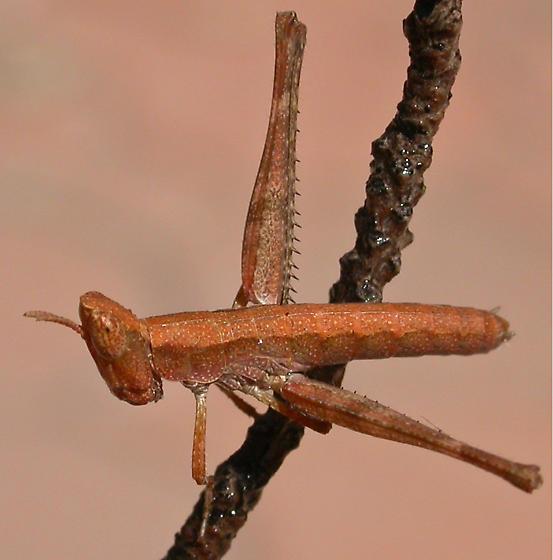 Chaparral Monkey Grasshopper Nymph - Morsea californica - female