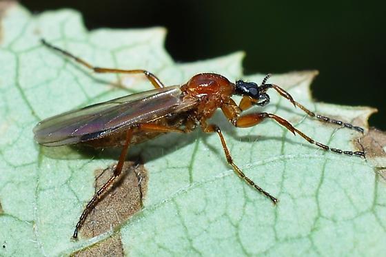 Diptera? - Bibio longipes - female