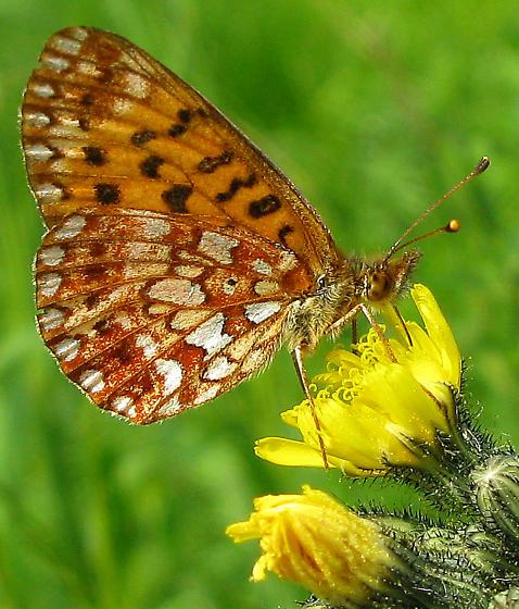 Silver-bordered Fritillary - Boloria selene