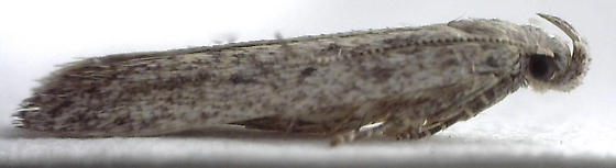 Scrobipalpopsis from Antennaria plantaginifolia - Scrobipalpopsis petrella