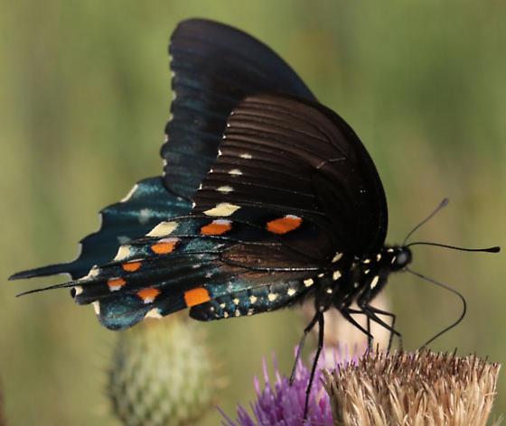 Battus philenor (Pipevine Swallowtail) - Battus philenor