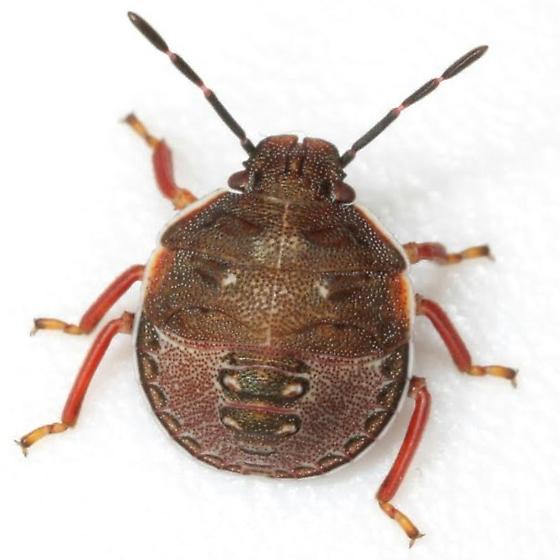 Dendrocoris humeralis (Uhler) - Dendrocoris humeralis