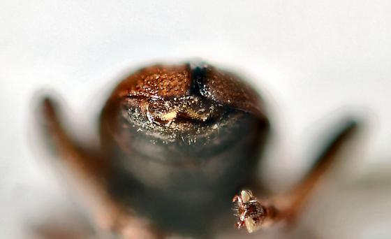 Aquatic Leaf Beetle ? - Plateumaris germari