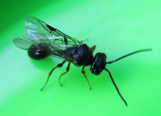Small Thin Waist Wasp - Helorus