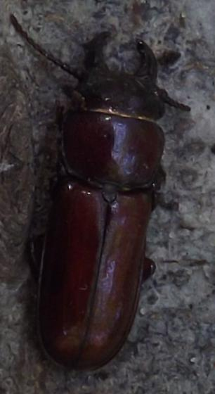 Is this a Stag Beetle? - Neandra brunnea - male