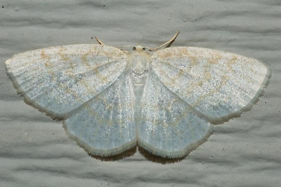 Very white moth on House - Cabera
