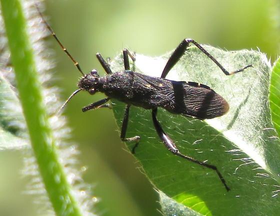 Broad-headed bug - Alydus? - Alydus eurinus