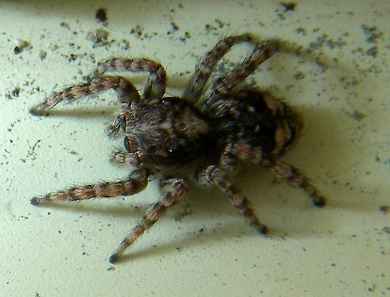 A Salticid, common, many, all under 1/8 inch 1 of 2 - Attulus fasciger