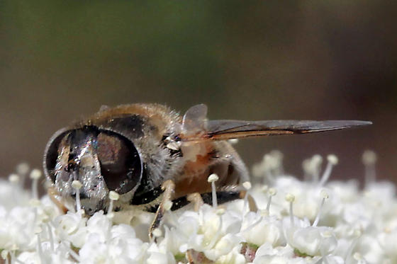 Hourglass Syrphid Fly...Eristalinae? - Eristalis arbustorum - female