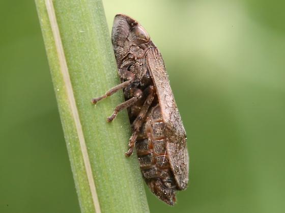 Cercopidae - Lepyronia