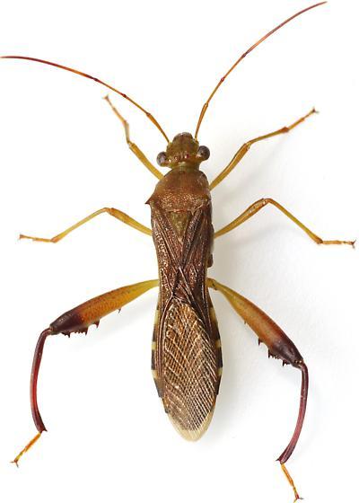 Broad-Headed Bug - Hyalymenus