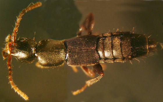 Lithocharis thoracica (Casey) - Lithocharis thoracica