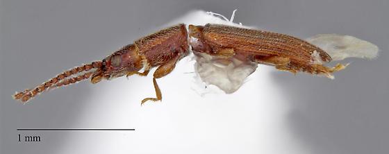 Latridiidae: Cryptolestes sp.? - Cryptolestes