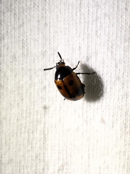 Shimmery red spotted beetle - Diaperis maculata