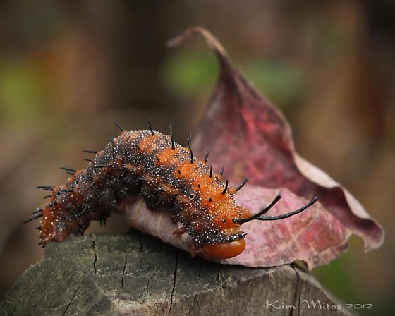 Orange and black caterpillar  - Anisota stigma