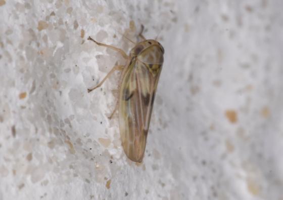 Unknown Agalliopsis - Agalliopsis