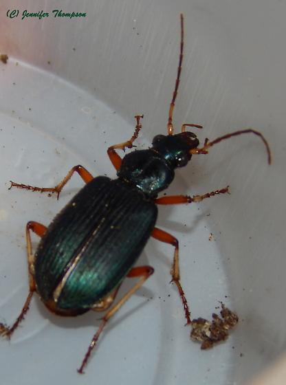 Greenish Ground Beetle - Chlaenius leucoscelis