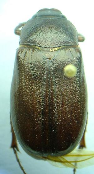 Phyllophaga bipartita - male