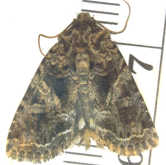 Noctuidae (feeding on Silene) - Hadena ectypa