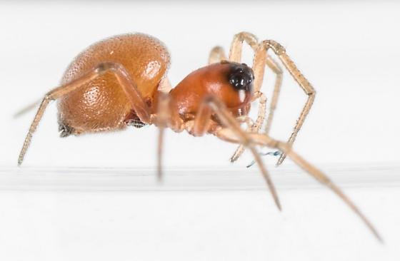 Ceraticelus similis - female