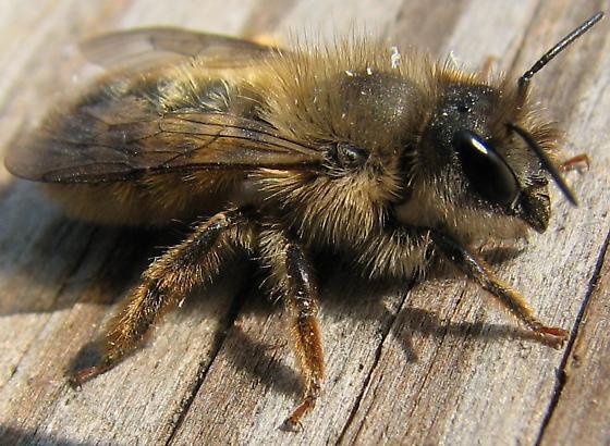 Mason Bee - Osmia taurus - female