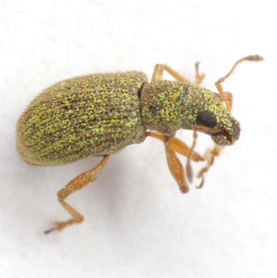 Polydrusus hassayampa Sleeper - Polydrusus hassayampus