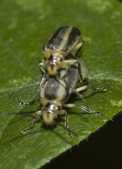 Trirhabda ? - Derospidea brevicollis - male - female